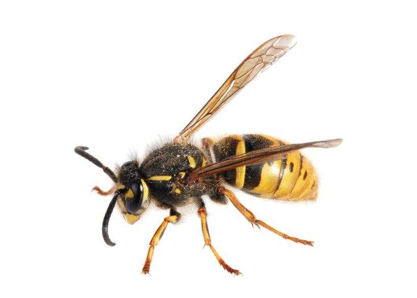Eine Wespe in Seitenansicht