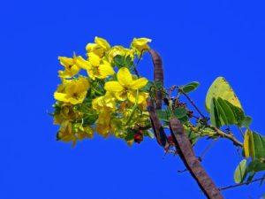 Senna-Pflanze vor blauem Himmel