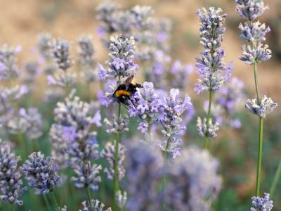 Der Echte Lavendel ist die Arzneipflanze des Jahres 2020