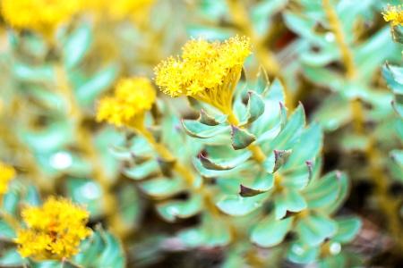 Auch Pflanzen wie die Rosenwurz können Stressbelastungen trotzen